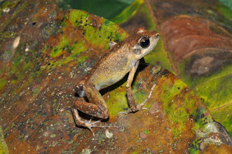 Photo: leaf-litter frog with a looong finger