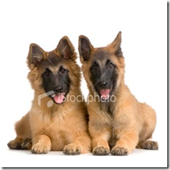 ist2_2945393_couple_of_puppy_belgian_tervuren