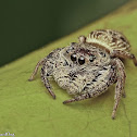 Mangrove Jumping spider