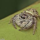Mangrove Jumping spider