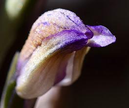 Photo: Limodorum abortivum