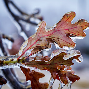 Frozen Fall by Ken Wagner - Nature Up Close Leaves & Grasses ( cols, winter, nature, ice, leaves,  )