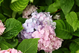 Photo: Гортензия крупнолистная розовая