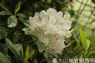 Photo: 拍攝地點: 梅峰-杜鵑園 拍攝植物: 石楠 拍攝日期:2012_05_19_FY