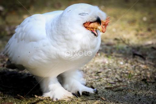 Snowy Owl With Chicken Birds Animals Pixoto