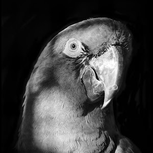 Red Fronted Macaw-2.jpg