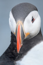 Photo: Atlantic Puffin (Papageitaucher); Látrabjarg, ISL
