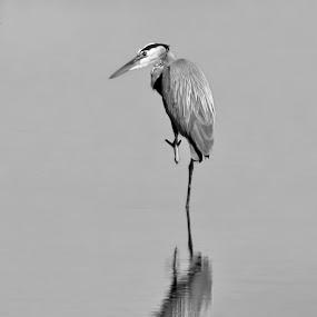 Time for reflection B & W by Jim Talbert - Black & White Animals ( water, bird, reflection, lake, kansas, pond, heron, animal )