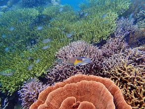 Photo: Choerodon anchorago (Anchor Tuskfish Wrasse), Lusong Island, Coral Garden Reef, Palawan, Philippines.