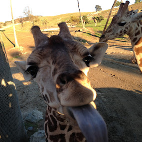 by Justin Kifer - Animals Other Mammals ( silly, tongue, giraffe, safari )