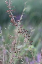 Photo: Showy tick-trefoil seeds