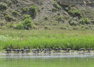 Photo: Canada Geese