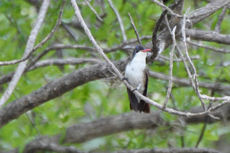 Photo: Violet-crowned Hummingbird (Veilchenscheitelamazilie); Santa María Ayu, OAX