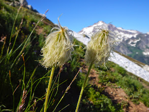 Photo: Seed heads of Western Pasqueflowers decorate the meadow