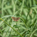 Unknown Butterfly or Skipper
