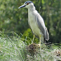 Marinete común / Black Crowned Night Heron