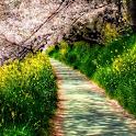 sakura tree wallpaper icon