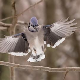 Blue Jay by Carl Albro - Animals Birds ( bird, flying, branch, blue jay )