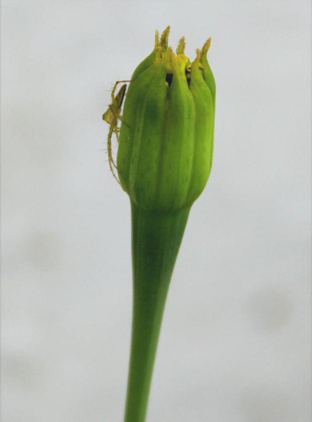 Marigold bud