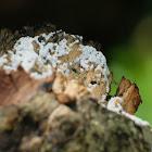 Ceratiomyxa fruticulosa 鵝絨菌