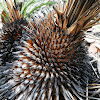 Johnson's Grass Tree (bushfire recovery)
