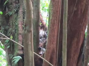 Photo: Wildcat in a tree