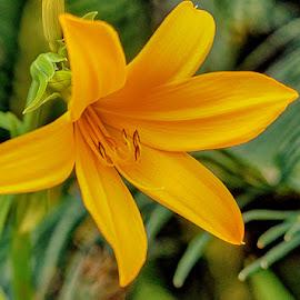 Yellow lily by Radu Eftimie - Flowers Single Flower ( macro, lily, yellow )