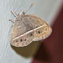 Dark Branded Bushbrown Butterfly