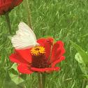 Mariposa Blanca