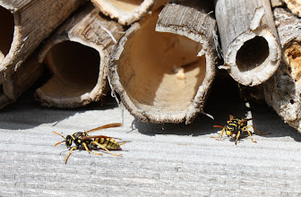 Photo: Polistes cf gallicus   Hymenoptera > Vespidae