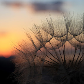 Serenity by Svetlana Micic - Nature Up Close Other plants ( dandelion, sunset, goat  beard, close up, soft )