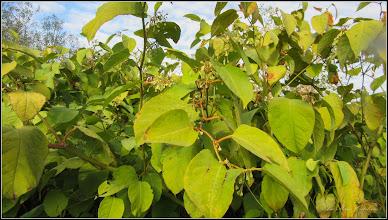 Photo: Iulişca (Fallopia japonica sau Polygonum: Cuspidatum, Polystach), planta invaziva -  din Turda, de pe malul Ariesului zona Parcul Central - 2018.09.30