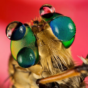 Full Color Facet... by Vincent Sinaga - Animals Insects & Spiders