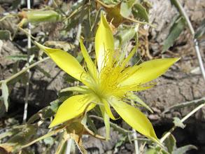 Photo: Blazing star (Mentzelia laevicaulis)