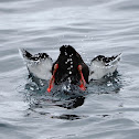 Arao aliblanco (Black guillemot)