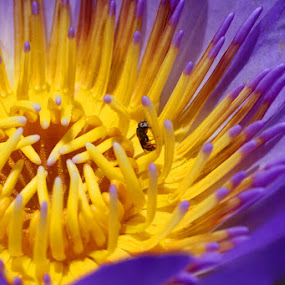 Water lily and bee by Nick Soefje - Nature Up Close Flowers - 2011-2013 ( hi-tech-photography.com )
