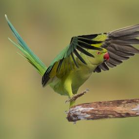 by Mukesh Chand Garg - Animals Birds ( animal images, all about bird photography, nature, wildlife photography, bird images, bird and wildlife, focus, all about nature photography, all about wildlife, photography, bird in flight )