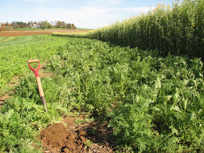 Photo: Phacelia (foreground) and sunn hemp (right) in demo strips on farm of Steve Groff in Lancaster Co., Pennsylvania.