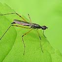 Eurasian stilt-legged fly