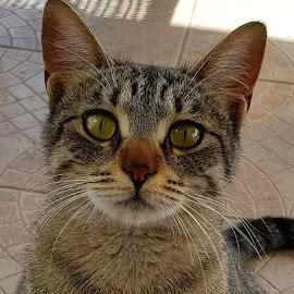 cat by Patrizia Emiliani - Animals - Cats Portraits ( cat )