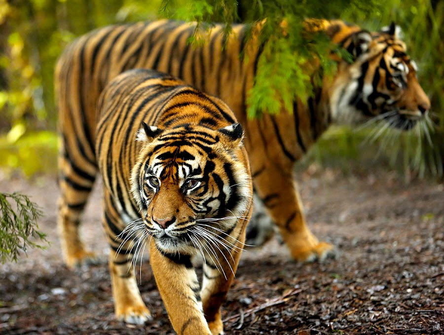 Sumatran tigers on the prowl by Anthony D'Angio - Animals Lions, Tigers & Big Cats