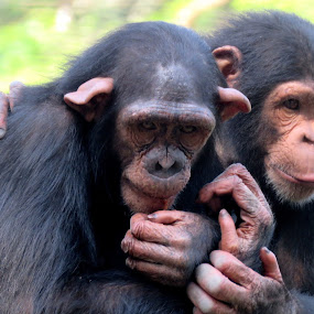 Friendship  by Mainak Adak - Animals Other Mammals ( closeup, nature, animal, chimpanzee, wildlife )