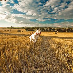 Running Fields 1 by Ian Taylor - Animals - Dogs Running ( countryside, field, labrador, dog, running )