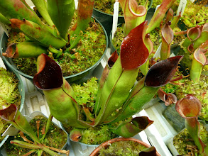 Photo: Heliamphora at Brian's CP-collection.