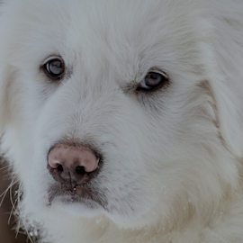 Maremma / Great Pyrenees Pup by Denise Johnson - Animals - Dogs Puppies ( maremma sheepdog, photograph, puppy, photographer, portrait, great pyrenees, photography,  )