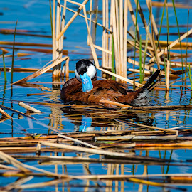 Ruddy Duck by Dave Lipchen - Animals Birds ( ruddy duck )