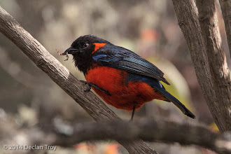 Photo: Scarlet-bellied Mountain Tanager