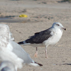 Great Black-backed Gull (3rd Winter)