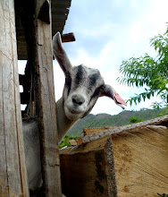 """Photo: Submitted by Save the Children  """"Goat in Guate"""" - Taken in the Western Highlands of Guatemala during the PROMASA II program, in which goat rearing was promoted for the production of milk, and waste from the goats was used for agriculture."""