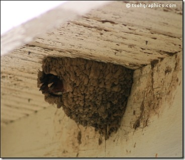Cliff Swallows in their nest